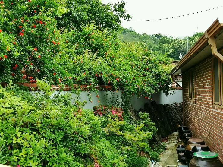 동촌마을 석류꽃